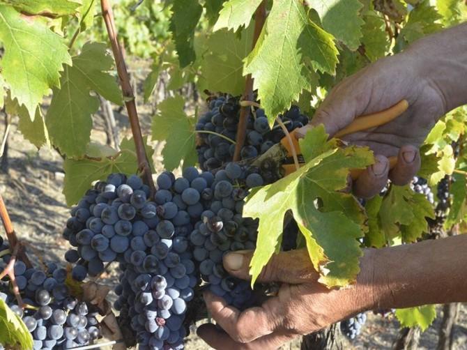 Nell'Orcia calo produttivo oltre la media regionale, ma con una buona qualità e i vitigni autoctoni resistono meglio ai cambiamenti climatici