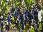 montecucco-uva