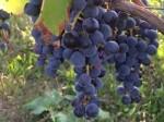 adotta un vitigno